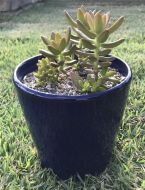 Cover Pot - Blue (with Succulent)